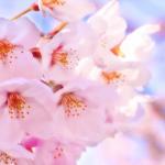 宮城の花見オススメ穴場3選とは!お花見を楽しむならココ!県民が紹介します!
